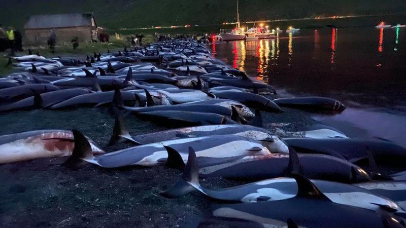 Islas Feroe: desconcierto y conmoción por matanza de 1.400 delfines